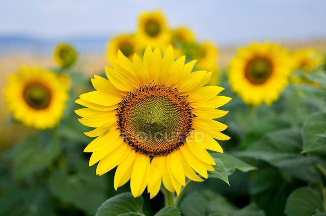 Closeup view of yellow blooming sunflowers — Stock Photo