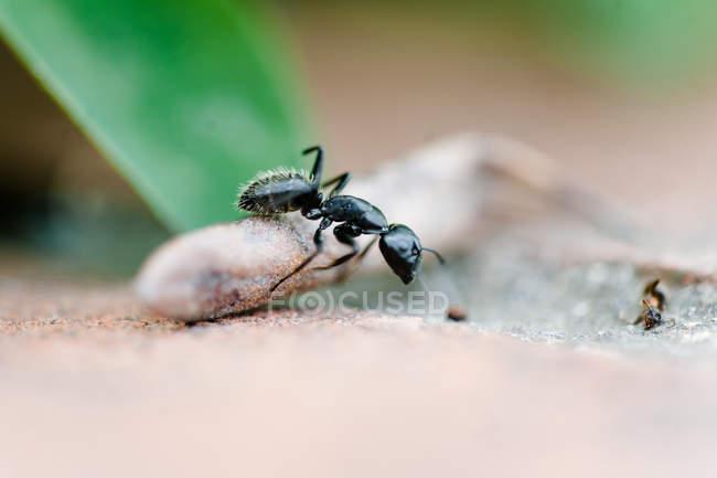Обход муравей насекомое — стоковое фото