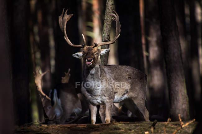 Дикие олени в естественной среде обитания — стоковое фото