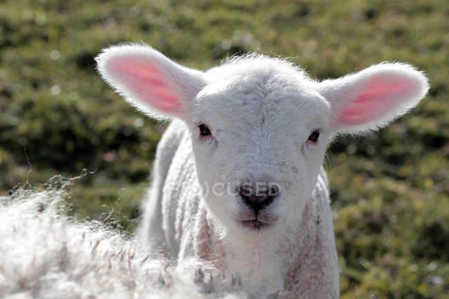 Focinho de carneiros domésticos — Fotografia de Stock