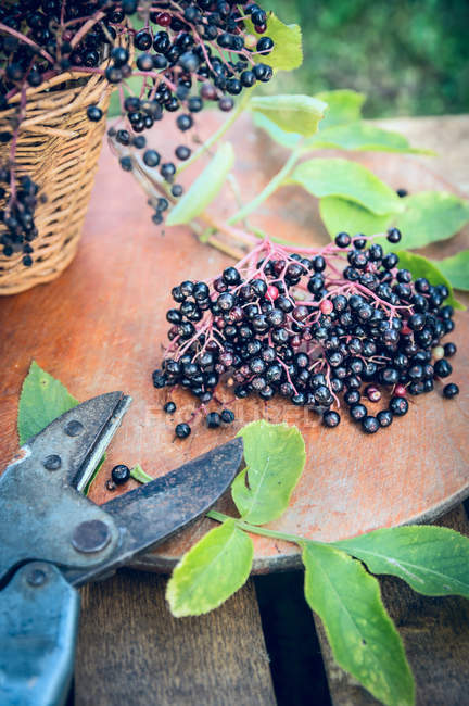 Elderberry branches in wicker basket with cutter — Stock Photo