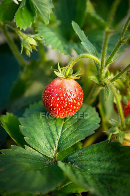 Ripe strawberry on green bush — Stock Photo