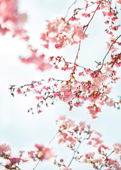Bella bolloming ciliegia albero — Foto stock