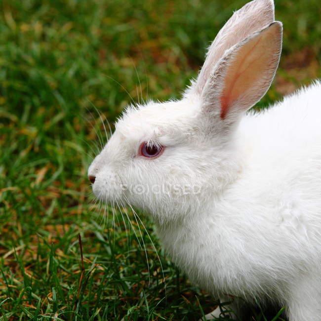Крупным планом вид белого альбинос кролика с красными глазами на зеленой траве — стоковое фото