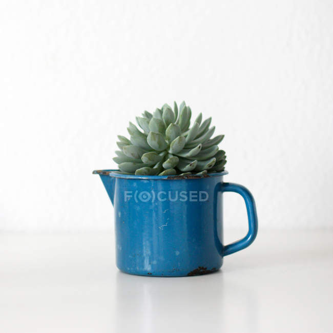 Growing houseplant in blue teapot, succulent cactus — Stock Photo