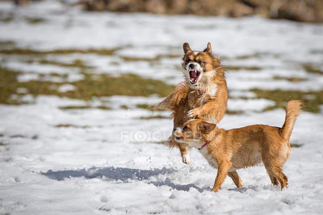Cachorros brincando em campo nevado — Fotografia de Stock