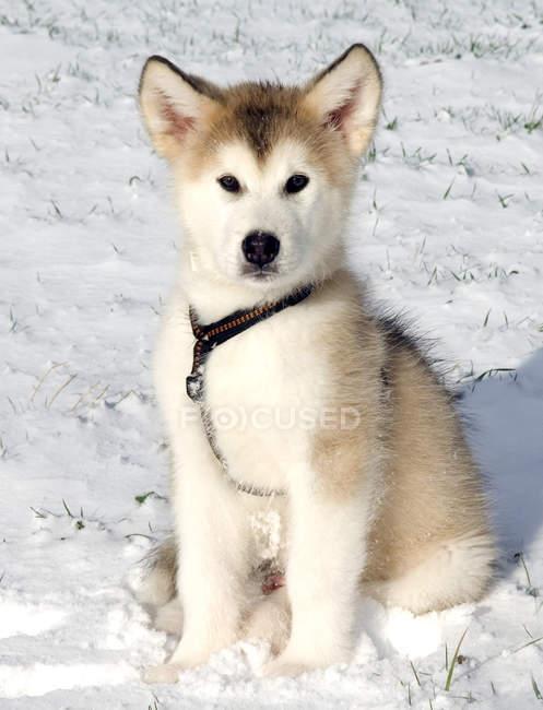 Vista frontal do filhote de cachorro alaskan malamute — Fotografia de Stock