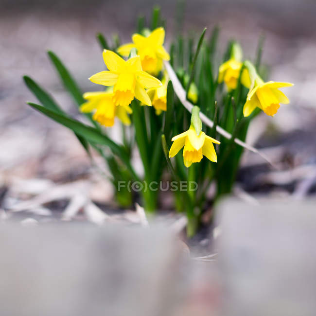 Blossoming daffodils flowers — Stock Photo