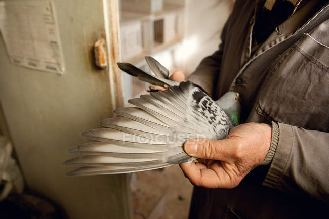 Close-up view of senior person holding grey pigeon in hands — Stock Photo