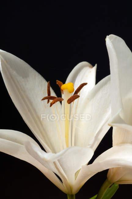 Calice de fleur de lys blanc — Photo de stock