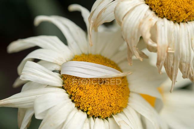 Цветущие цветы ромашки — стоковое фото