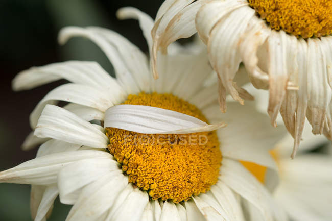 Blooming daisy flowers — Stock Photo