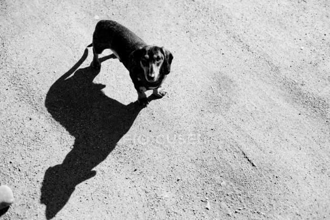 Высокий угол зрения Такса собаки — стоковое фото