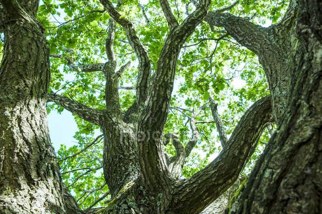 Galhos de árvores enormes — Fotografia de Stock