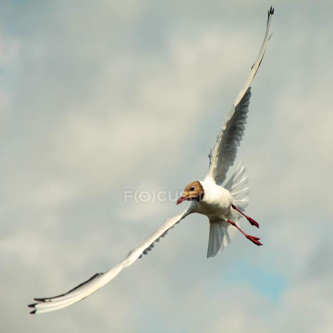 Gabbiano in volo con le ali spiegate — Foto stock
