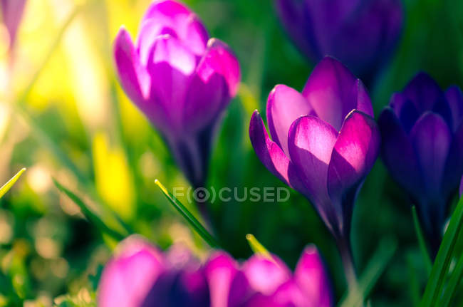 Hermosas flores de azafrán - foto de stock