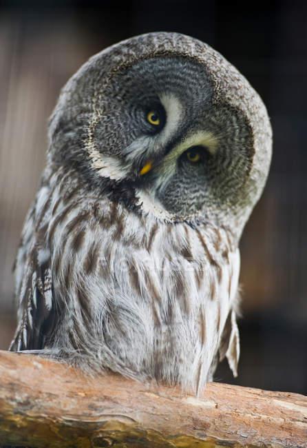 Gros plan d'oiseau chouette — Photo de stock