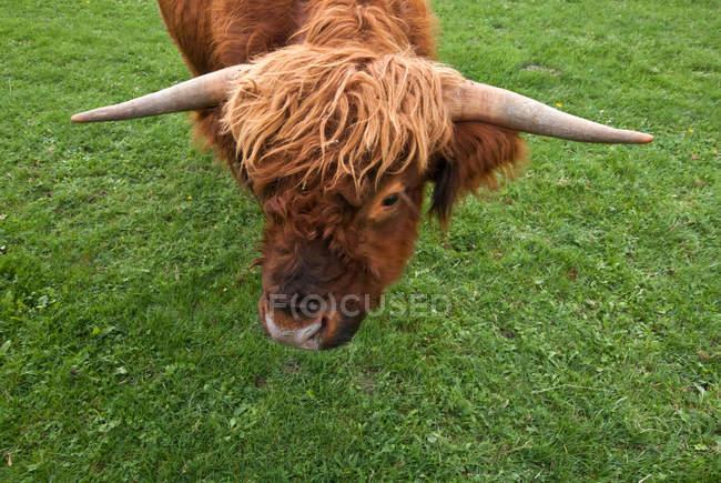 Шотландская хайлендская порода крупного скота — стоковое фото