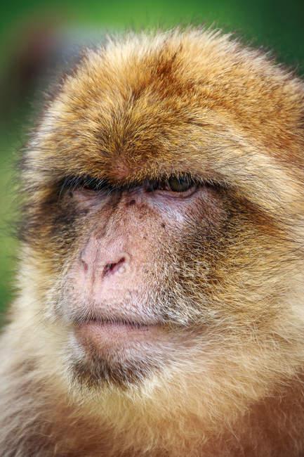 Портрет Барбари макаки обезьян — стоковое фото