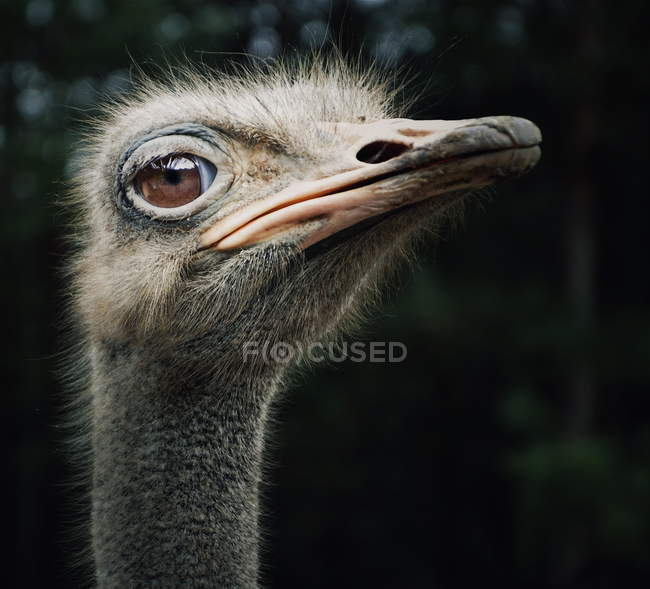 Ritratto dell'uccello struzzo divertente — Foto stock