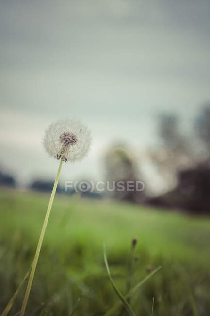 White dandelion flower in the field stock photo 156978844 white dandelion flower in the field stock photo mightylinksfo