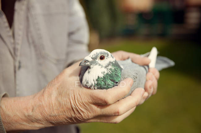 Male hands holding pigeon bird — Stock Photo