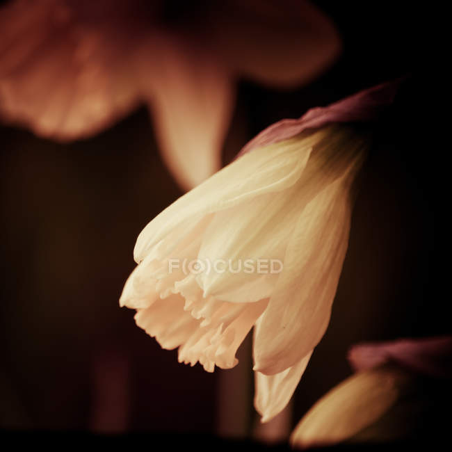 Closeup view of bent narcissus flower — Stock Photo