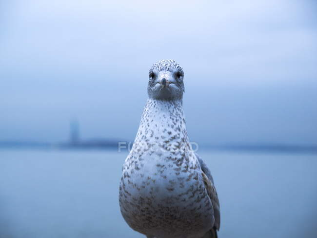 Front view of seagull looking in camera — Stock Photo