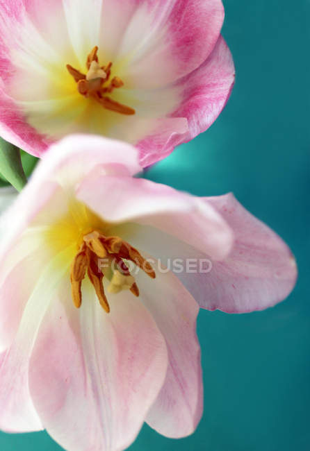 Fresh tulip flowers — Stock Photo