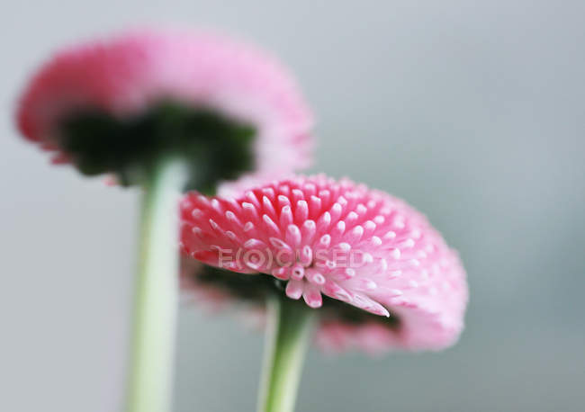 Closeup view of blooming pink daisy flowers — Stock Photo