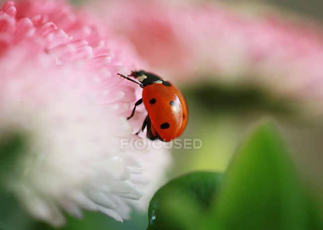 Tiny ladybug, Coccinella magnifica — Stock Photo