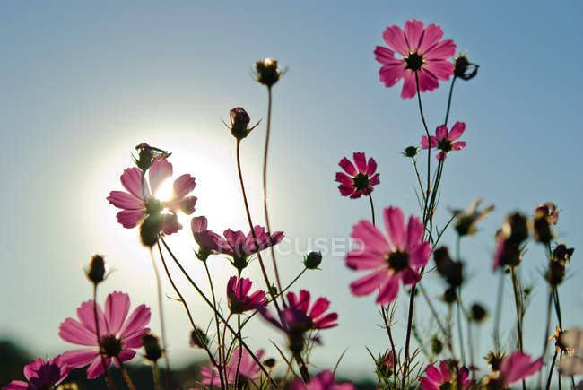 Blossoming cosmos garden flowers — Stock Photo