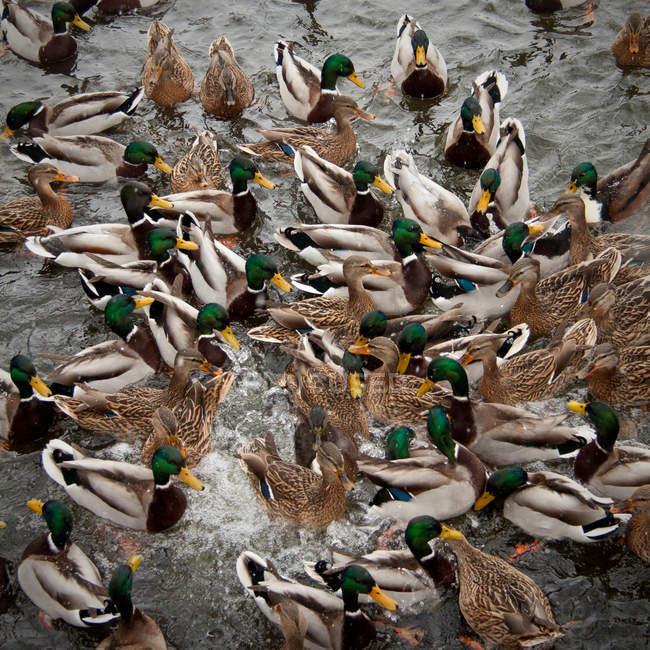 Pájaros del pato en hábitat natural - foto de stock
