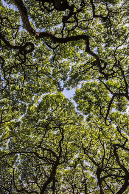 Low angle view of tree tops — Stock Photo