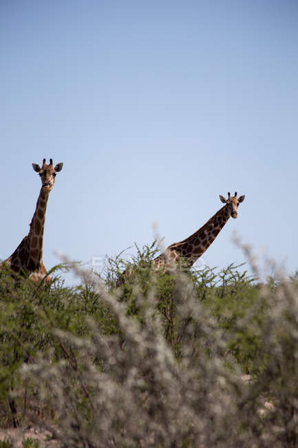 African giraffes  in nature — Stock Photo