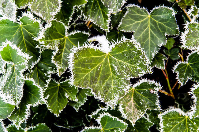 Folhas verdes coberto com gelo — Fotografia de Stock