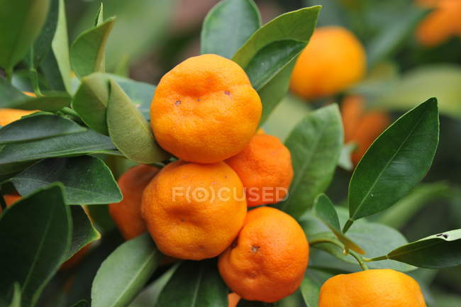 Closeup of tangerine branch with green foliage and ripe fruits — Stock Photo
