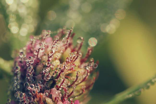 Gouttes de rosée sur plante fleur de trèfle — Photo de stock