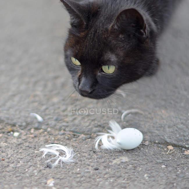 Closeup Kopfschuss schwarze Katze mit Federn und Ei auf asphalt — Stockfoto