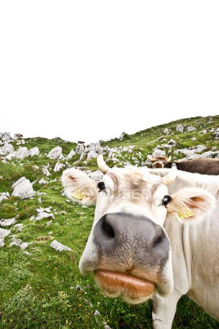 Focinho peludo vaca — Fotografia de Stock