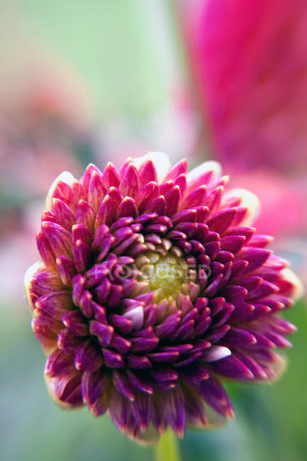 Closeup of purple dahlia flower bloom — Stock Photo