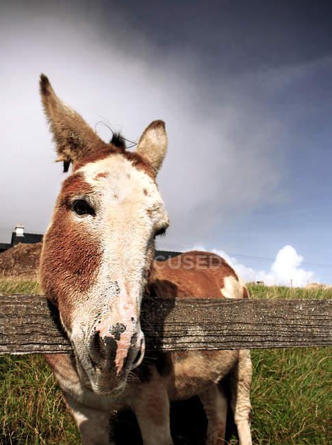 Focinho do burro doméstico — Fotografia de Stock
