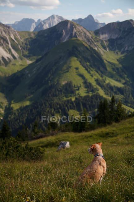 Вид сзади собака, сидящая на лугу в горах — стоковое фото