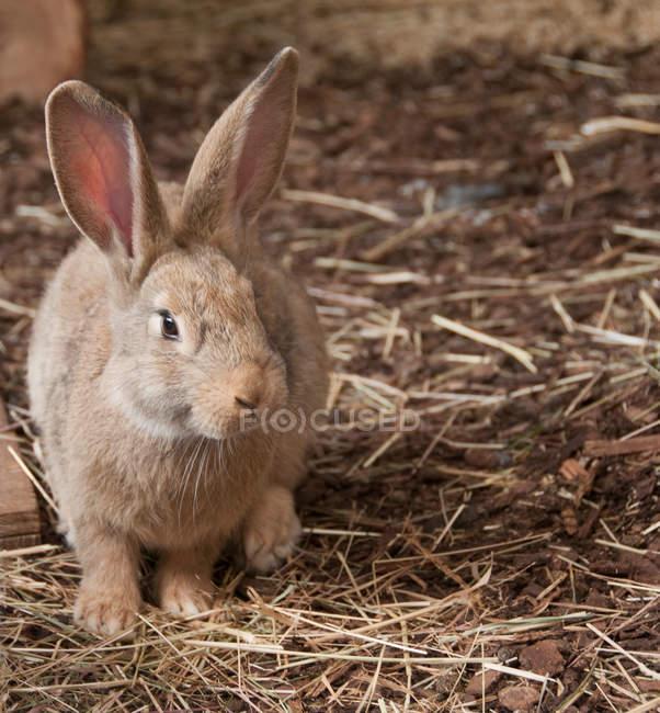 Вид спереди внутренних кролик в сарай — стоковое фото