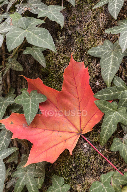 Foliage plant leaves — Stock Photo