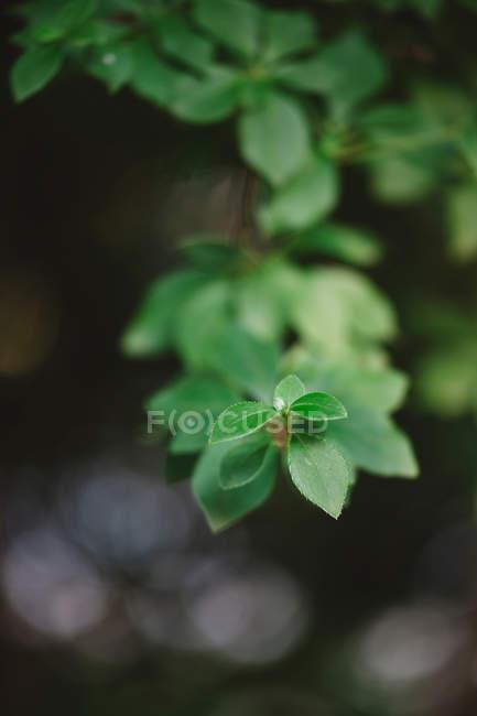 Arbusto de ramos com folhas — Fotografia de Stock