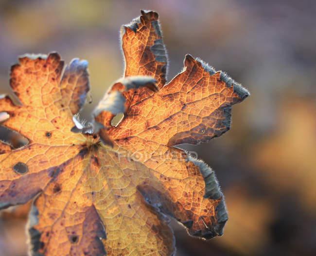 Desvanecimento folha outonal — Fotografia de Stock