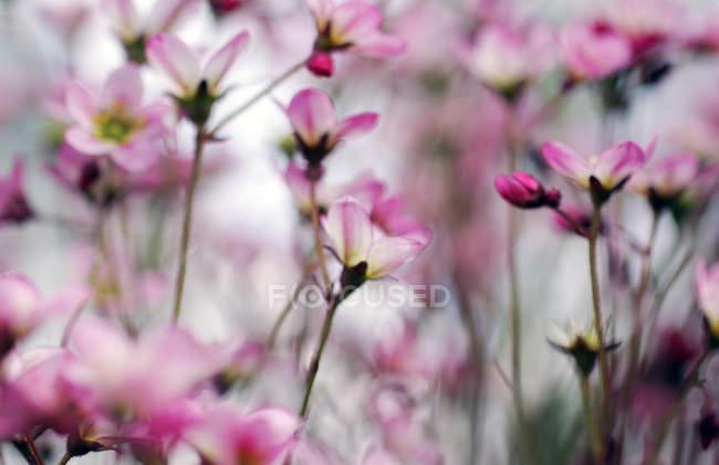 Цветущие цветы садовые — стоковое фото
