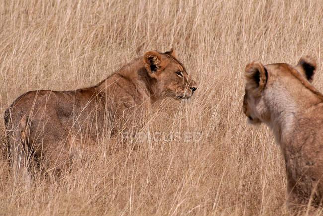 Vista del primo piano di due leonesse in prato — Foto stock
