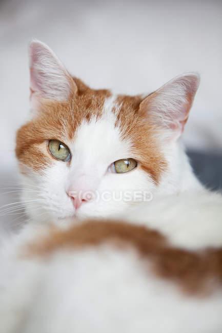 Gato com olhos verdes olhando para a câmera — Fotografia de Stock